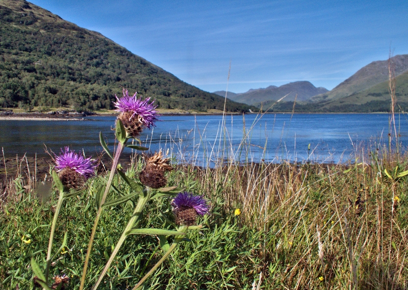 mod_C-purple-thistle-loch-creran