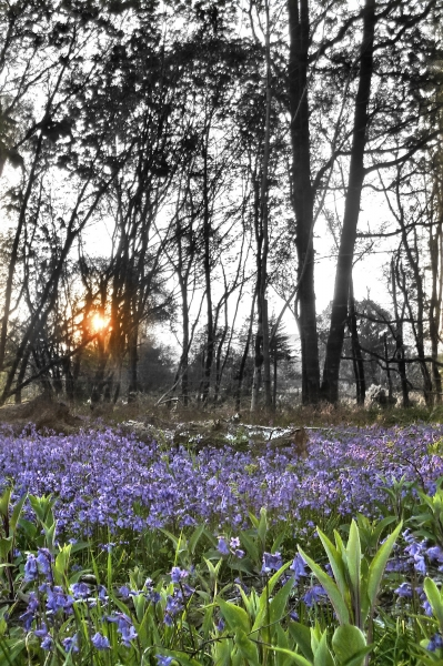 mod_R-Bluebells sunset part mono pt hdr