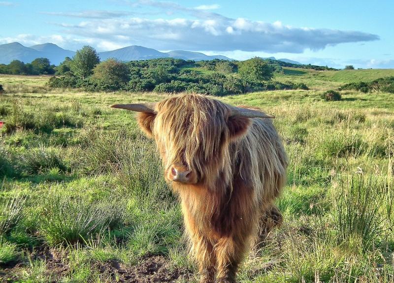 mod_S-Shian highland calf HDR