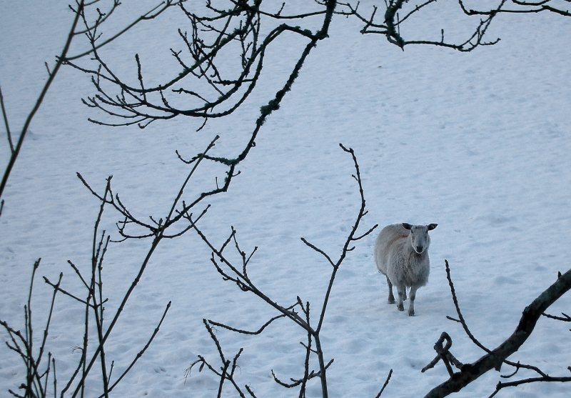 mod_W-Sole sheep thro twigs snow